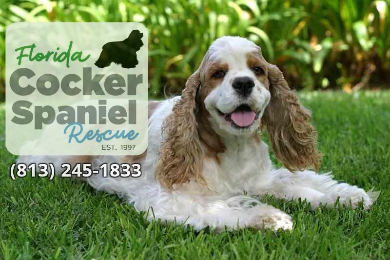 Florida Cocker Spaniel Rescue